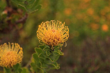 nodding: Yellow pincushion protea Leucospermum cordifolium is a flowering shrub that is drought tolerant and found in South Africa.