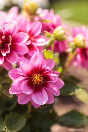 fascination: Pink Dahlia flower called Fascination is found in Mexico and is the national flower.