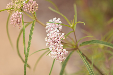 leafed: Light pink flower clusters of the narrow leafed milkweed Asclepias fascicularis attract Monarch butterflies in Southern California.