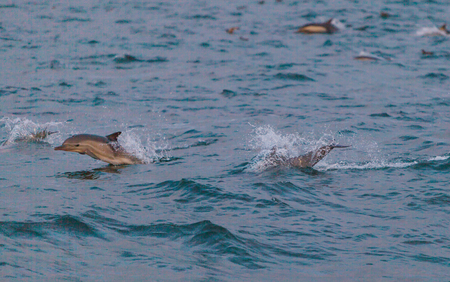 balboa: A pod of short beaked common dolphin Delphinus jumps and swims in front of a boat off the coast of Balboa Island in the Pacific Ocean Stock Photo