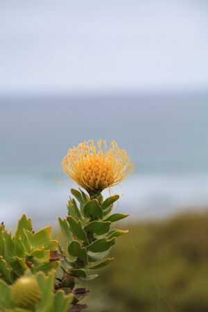 spikey: Yellow pincushion protea Leucospermum cordifolium is a flowering shrub that is drought tolerant and found in South Africa.