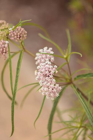 clusters: Light pink flower clusters of the narrow leafed milkweed Asclepias fascicularis attract Monarch butterflies in Southern California.