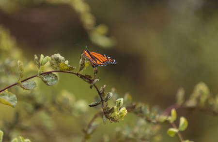 nectaring: Monarch butterfly, Danaus plexippus, on a bush in spring in Laguna Beach, Southern California Stock Photo
