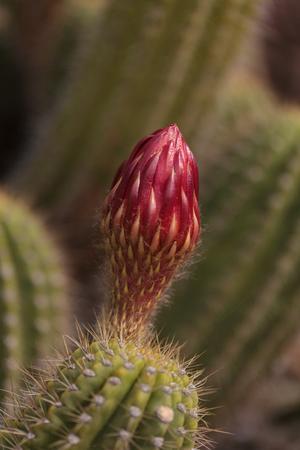 platillo volador: Rojo Echinopsis flor llama las floraciones platillo volante en un cactus de Arizona. Foto de archivo