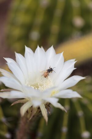 apis: Honeybee, Apis mellifera, gathers pollen on a flower in Southern California, United States.