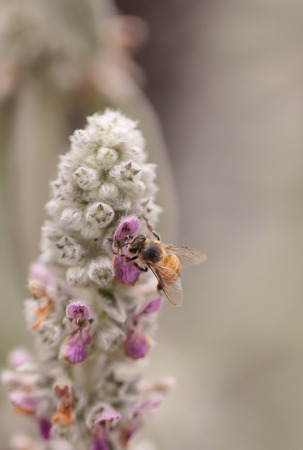 botanical farms: Honeybee, Hylaeus, gathers pollen on a flower in Southern California, United States.