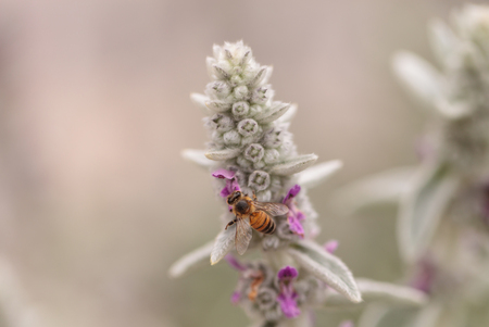 gathers: Honeybee, Hylaeus, gathers pollen on a flower in Southern California, United States.