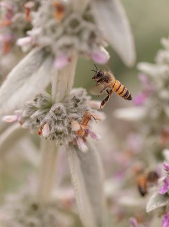 mellifera: Honeybee, Hylaeus, gathers pollen on a flower in Southern California, United States.