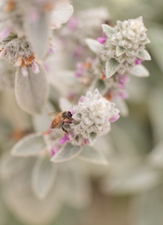 Honeybee, Hylaeus, gathers pollen on a flower in Southern California, United States.