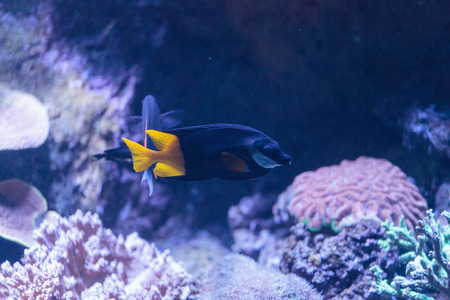 Bicolor Foxface rabbitfish, Siganus uspi, is a black fish with a yellow tail.