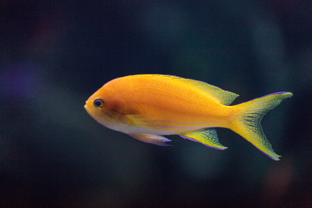 Lyretail fairy basslet fish Pseudanthias squamipinnis swims over a coral reef in the ocean. Stock Photo