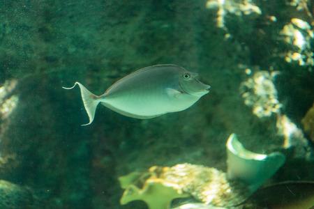 naso: Bluespine unicornfish Naso unicornis is found on coral reefs in a tropical habitat of the ocean.