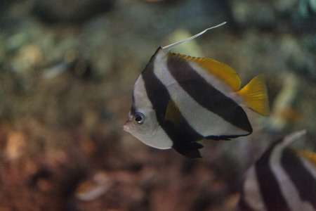 coralfish: Pennant Butterflyfish Heniochus acuminatus has black and white stripes with a yellow tail and larger eyes.