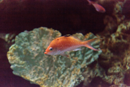 basslet: Lyretail fairy basslet fish Pseudanthias squamipinnis swims over a coral reef in the ocean. Stock Photo