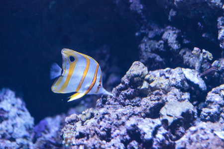 chelmon: Copper-banded butterflyfish, Chelmon rostratus, picks at the corals on the reef