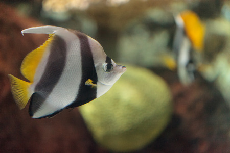 longfin: Pennant Butterflyfish Heniochus acuminatus has black and white stripes with a yellow tail and larger eyes.