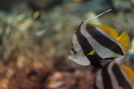 Pennant Butterflyfish Heniochus acuminatus has black and white stripes with a yellow tail and larger eyes.
