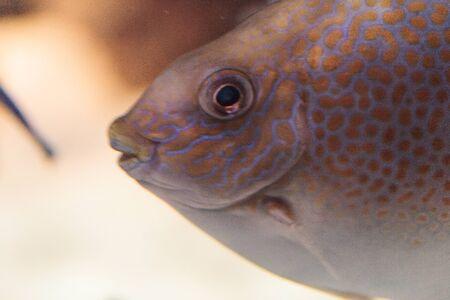 rabbitfish: Yellowspot rabbitfish Siganus guttatus swims across a coral reef. Stock Photo
