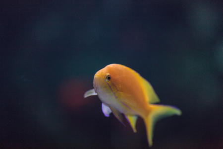 lyretail: Lyretail fairy basslet fish Pseudanthias squamipinnis swims over a coral reef in the ocean. Stock Photo