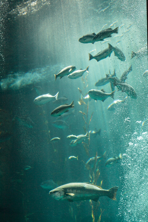 chub: Pacific chub mackerel Scomber japonicus school together in a large aquarium with kelp Stock Photo