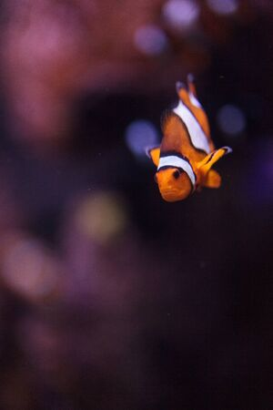 Clownfish, Amphiprioninae, in a marine fish and reef aquarium, staying close to its host anemone Banco de Imagens