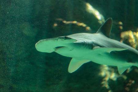 pez martillo: Bonnethead Sphyrna tiburo es parte del género de tiburón martillo.