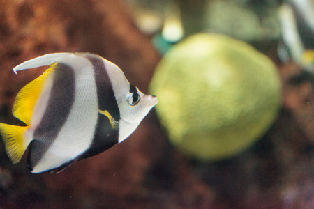 coachman: Pennant Butterflyfish Heniochus acuminatus has black and white stripes with a yellow tail and larger eyes.