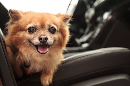 strapped: Pomeranian and Chihuahua mix dog goes for a ride in the car. He is strapped in with a harness that attaches to the seatbelt for safety.