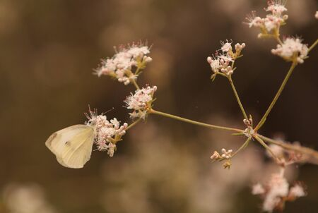 nectaring: White cabbage butterfly Pieris rapae perches on a flower in Southern California to gather nectar in spring