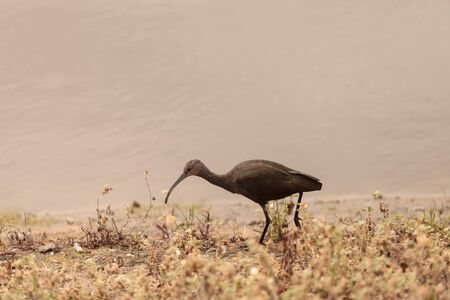 curved leg: White faced ibis, Plegadis chihi, forages in the marsh at the San Joaquin wildlife reserve in Irvine, California, United States.