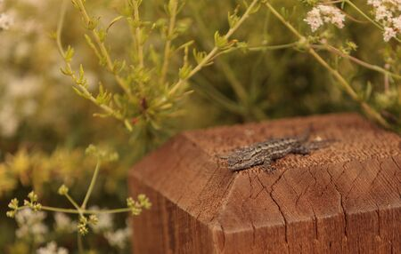 blotched: Side blotched lizard Uta stansburiana suns itself on a post in a Southern California garden in spring Stock Photo
