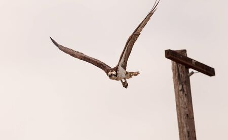 osprey bird: Osprey bird, Pandion haliaetus, takes off a post in spring in Southern California, United States