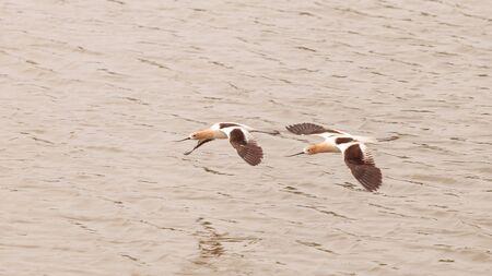 americana: American Avocet shorebirds, Recurvirostra Americana, fly over a marsh in Southern California in spring