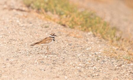 shorebird: Killdeer shorebird Charadrius vociferous in a marsh in Southern California in spring