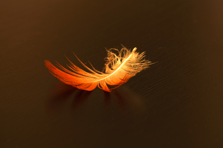 white feather: Bright pink and white feather of a scarlet ibis Eudocimus ruber on a black background