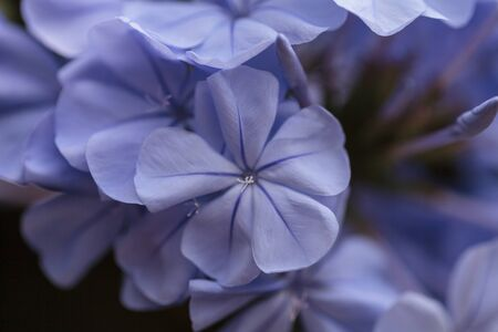 petrea volubilis: Blue flowers of Petrea volubilis, also called the sandpaper vine, which is an evergreen flowering vine native to Mexico and Central America.