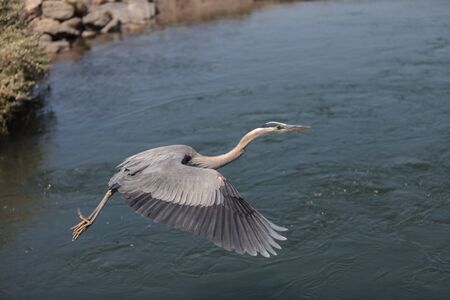 blue heron: Great blue heron bird, Ardea herodias, flies over the marsh in Huntington Beach, California, United States
