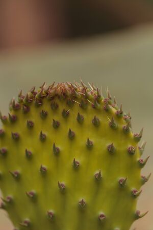 Prickly pear cactus, Opuntia, pad in the Sonoran Desert, Arizona on a green background