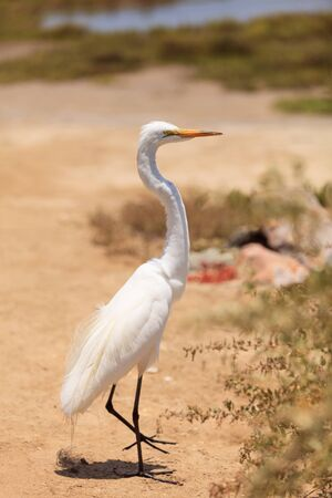 salt marsh: Great egret bird, Ardea alba, stands in a salt marsh in the upper Newport bay in Newport Beach, California, United States. Stock Photo