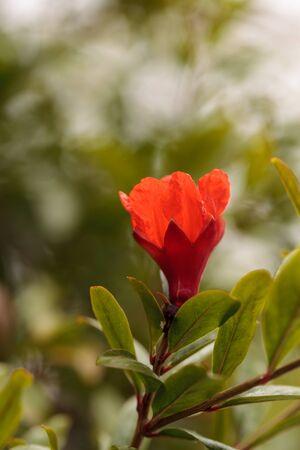 punica granatum: Pomegranate tree, Punica granatum, flowers and bears fruit in the summer
