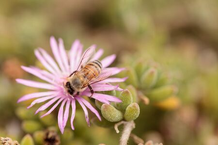 mellifera: Honeybee Apis mellifera gathers nectar from an ice plant succulent flower along the ground in spring.