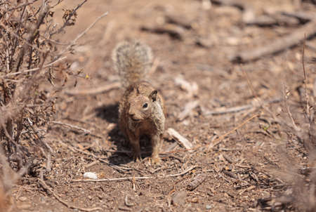 hesitant: A young squirrel Otospermophilus beecheyi creeps along the ground in a marsh in Southern California, United States in summer