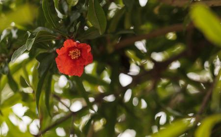 granatum: Pomegranate tree, Punica granatum, flowers and bears fruit in the summer