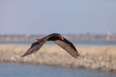 turkey vulture: Turkey Vulture in flight (Catharte aura) in Huntington Beach, Southern California Stock Photo