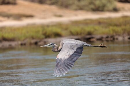 great blue heron: Great blue heron bird, Ardea herodias, flies over the marsh in Huntington Beach, California, United States