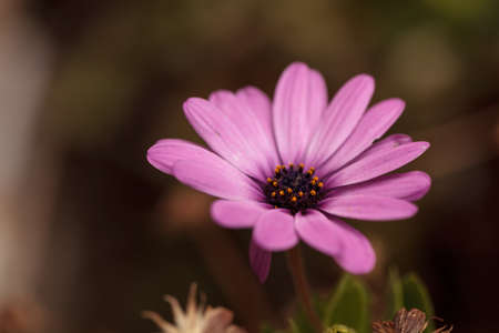 african daisy: Purple African daisy, Osteospermum Ecklonis, blooms in a botanical garden in summer on a background of green leaves Stock Photo