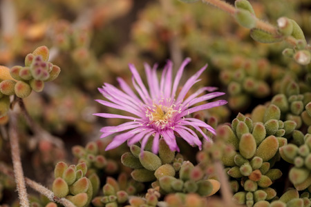 iceplant: Pink flower on Ice plant succulent, Carpobrotus edulis, creeping ground cover on beach sand in the spring in Southern California with the ocean in the background Stock Photo