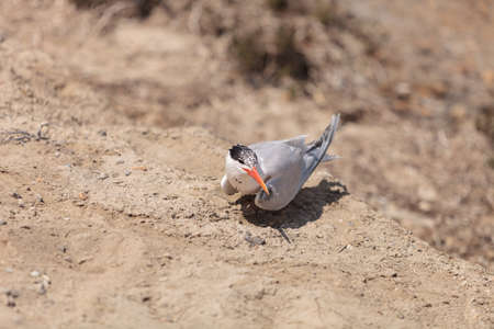 caspian: Nesting female Caspian tern Hydroprogne caspia, sitting on a nest in the sand in Southern California. Stock Photo
