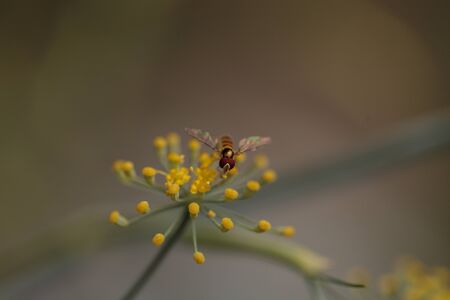 pollinator: Tiny gold and brown hoverfly Sphaerophoria philanthus sits on a yellow spray of flowers