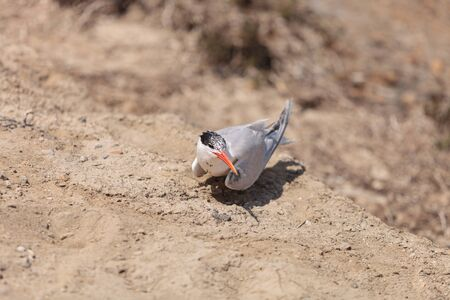nesting: Nesting female Caspian tern Hydroprogne caspia, sitting on a nest in the sand in Southern California. Stock Photo